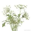 wedding flowers, queen anne's lace